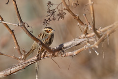 Little bunting - Zwergammer