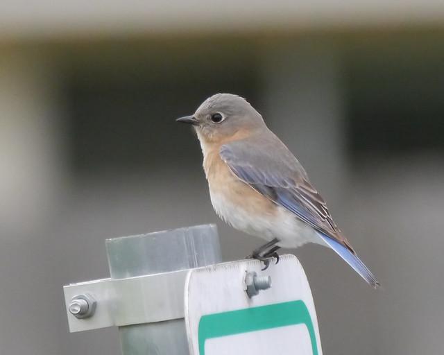 Eastern Bluebird - 2