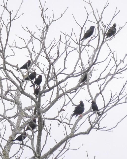 European Starlings and Brown-headed Cowbirds