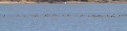 clarksville scaup cowanlake clintoncounty redhead ohio places birds
