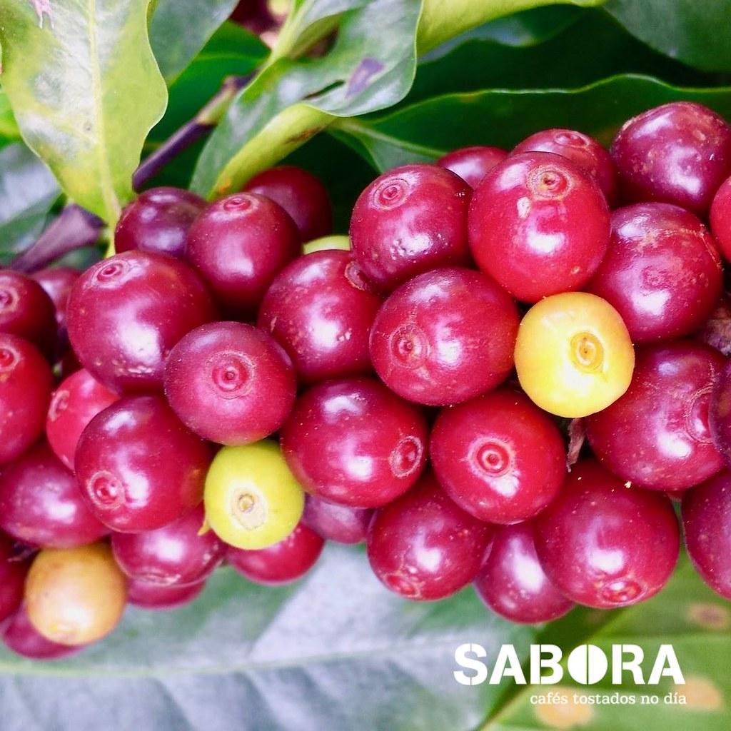 Cerezas de café cultivadas a la sombra