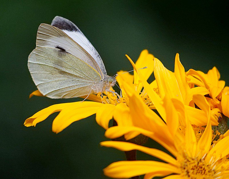 Papillon. 49612671551_4b22c33753_c