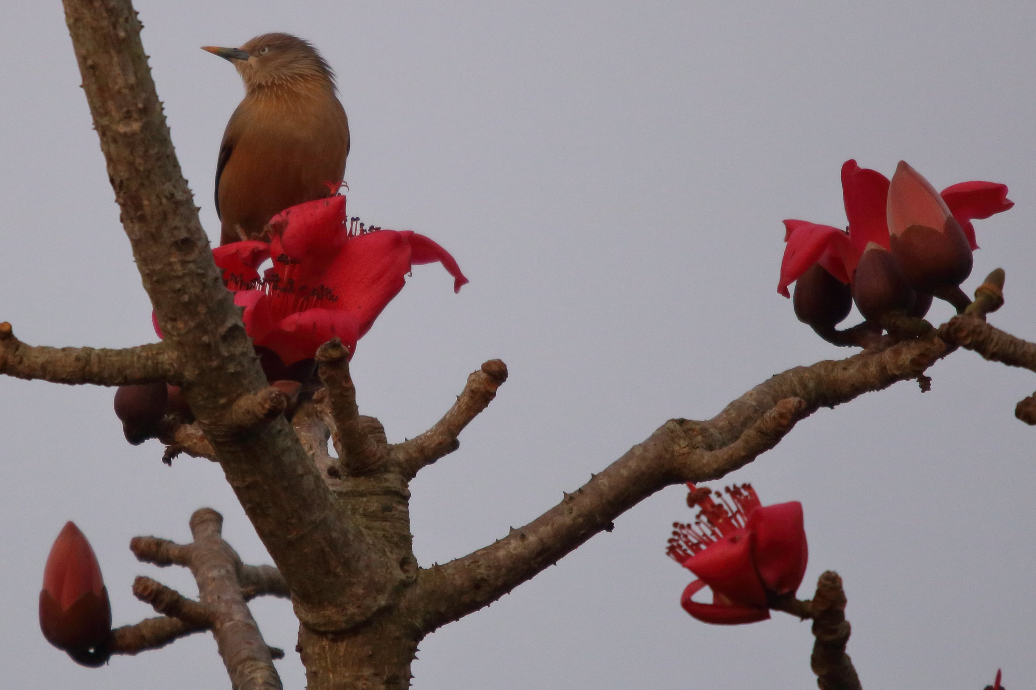 Chestnut-tailed starling on Semal
