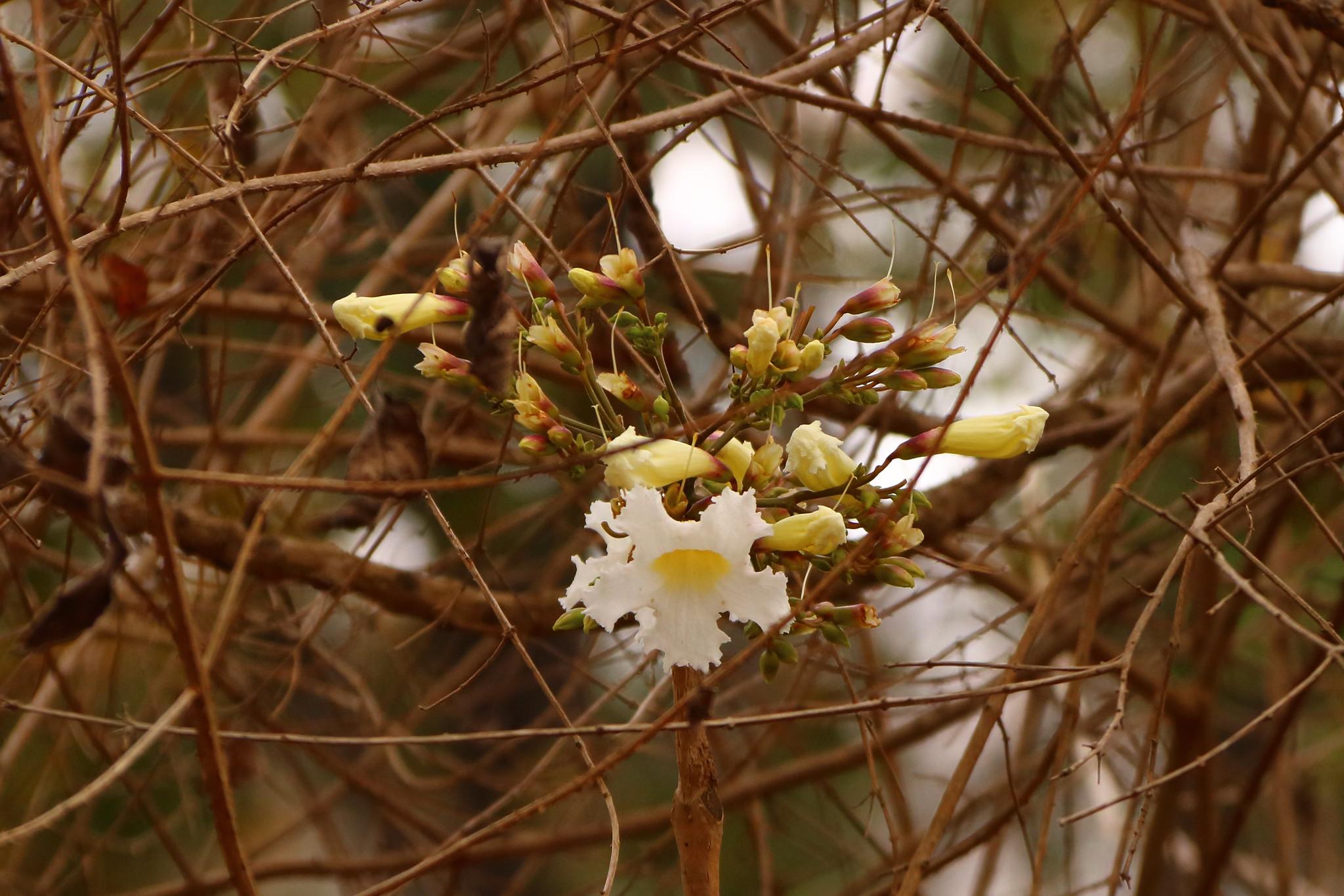 Deer antler tree flower - Radermachera xylocarpa