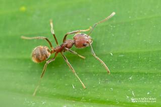 Ant (Dolichoderus sp.) - DSC_4649