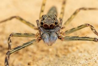 Jumping spider (Spartaeus sp.) - DSC_4584
