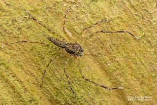 Jumping spider (Spartaeus sp.) - DSC_4574