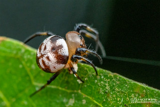 Marble button spider (Anepsion maritatum) - DSC_4504