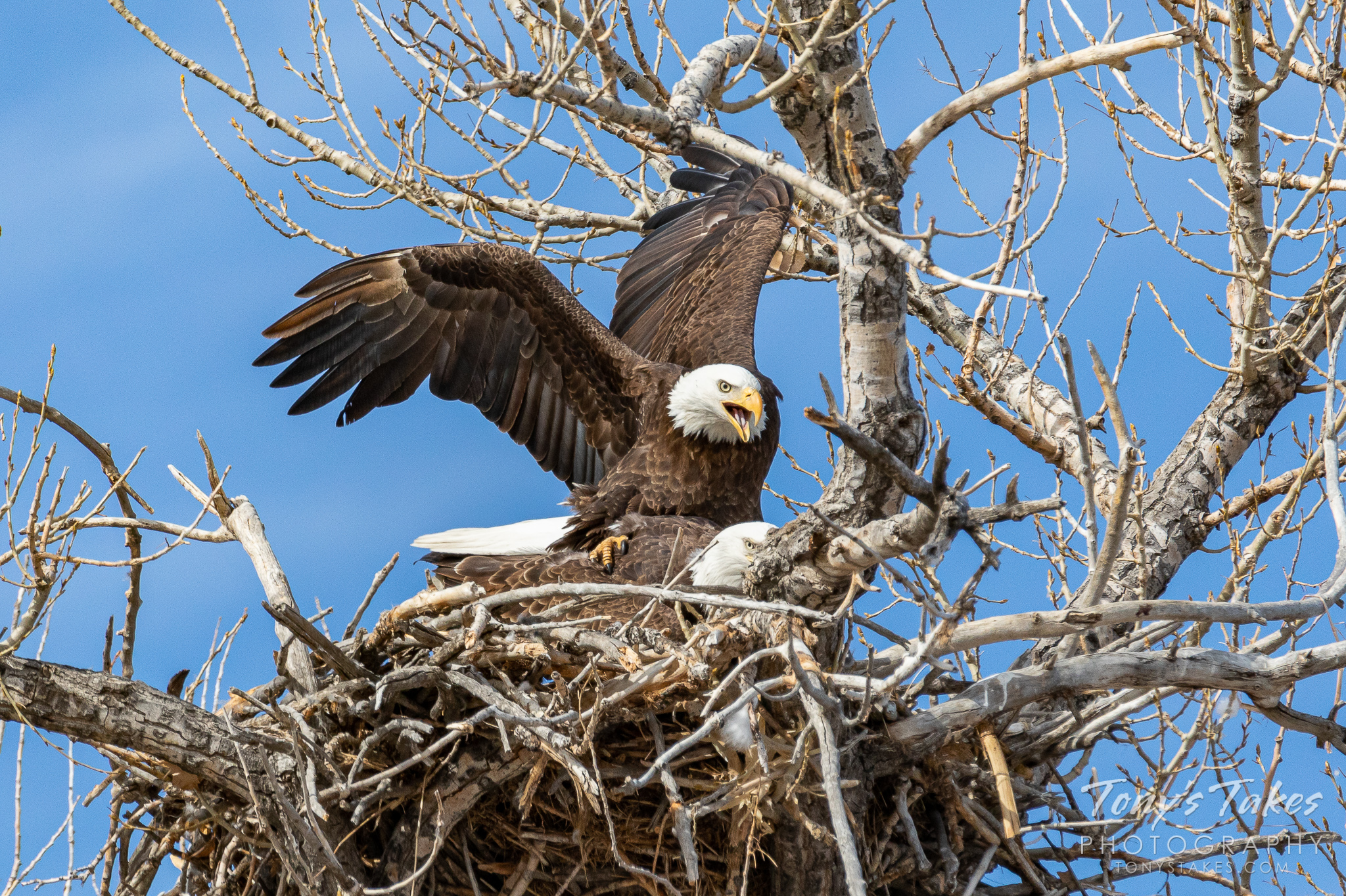 Bald eagles copulate at their nest in Colorado. (© Tony's Takes)