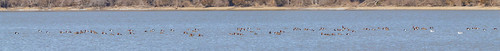 scaup cowanlake clintoncounty redhead panorama clarksville ohio ringbilledgulls otherkeywords birds places