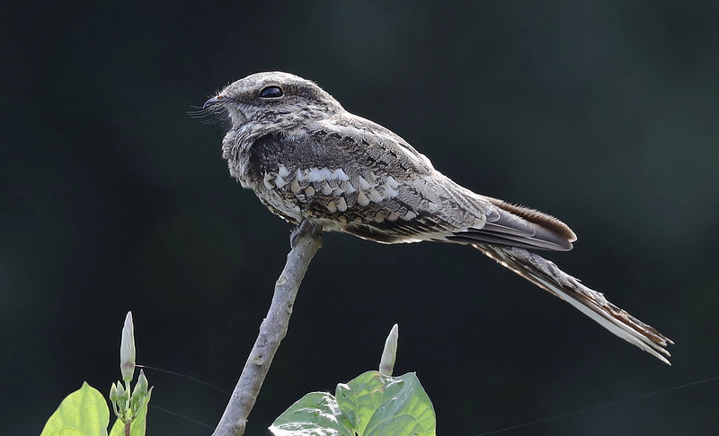 Ladder-tailed Nightjar_Hydropsalis climacocerca_Amazon Cruise Cornell_Ascanio_DZ3A5643