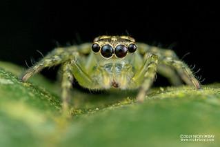 Jumping spider (cf. Pancorius sp.) - DSC_4659