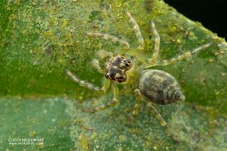 Jumping spider (cf. Pancorius sp.) - DSC_4653