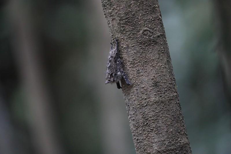 Long-nosed Bat_Rhynchonycteris naso_Ascanio_Cornell Amazon Cruise_DZ3A6125