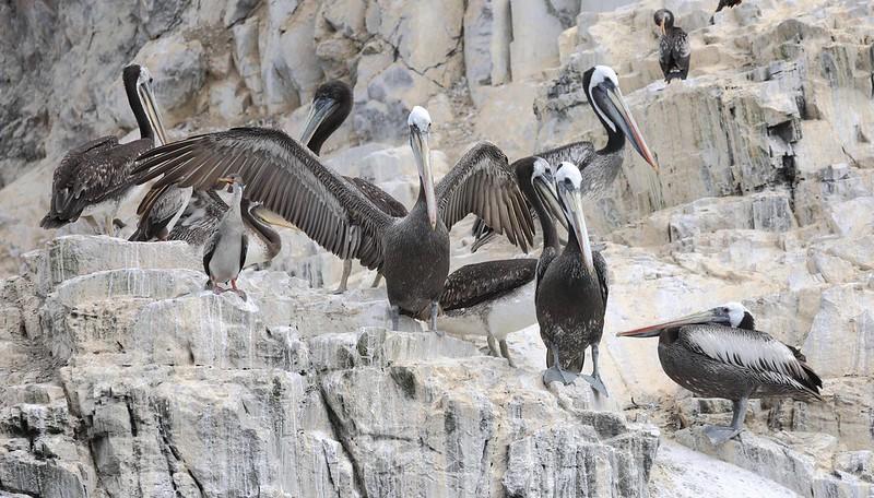 Peruvian Pelican_Pelecanus thagus_Ascanio_Cornell Amazon Cruise_Lima day_DZ3A4938