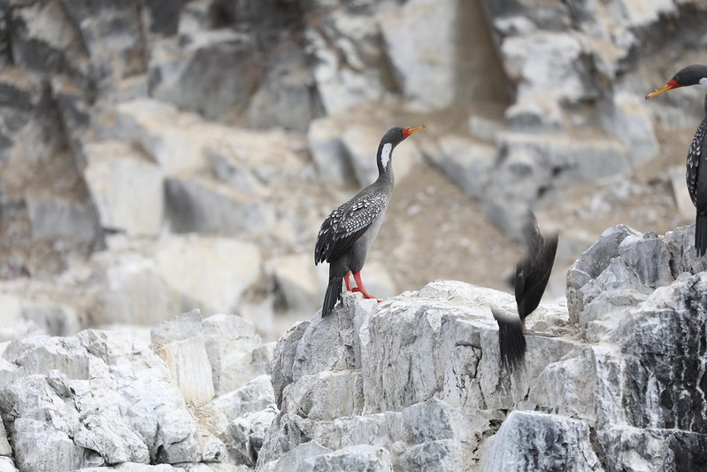 Red-legged Cormorant_Phalacrocorax gaimardi_Ascanio_Cornell Amazon Cruise_Lima Day_DZ3A4923