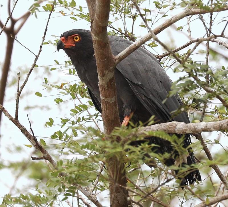 Slate-colored Hawk_Buteogallus schistaceus_Ascanio_Cornell Amazon Cruise_DZ3A5113