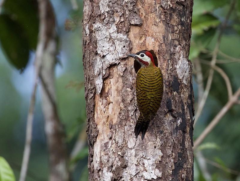 Spot-breasted Woodpecker_Colaptes (Chrysoptilus) punctigula_Cornell Amazon Cruise_Ascanio_DZ3A5547