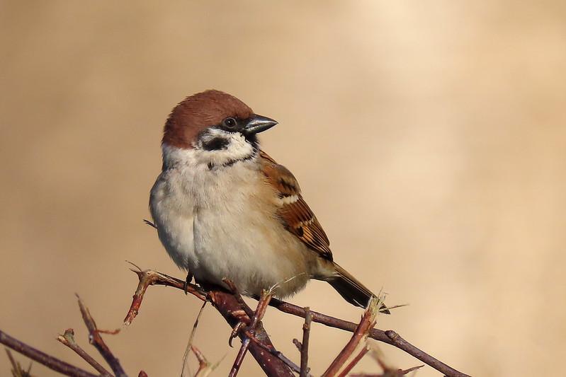 Tree Sparrow - Passer montanus