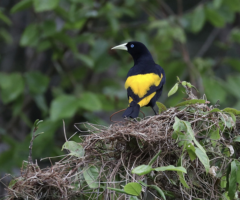 Yellow-rumped Cacique_Cacicus cela_Cornell Amazon Cruise_Ascanio_DZ3A5976