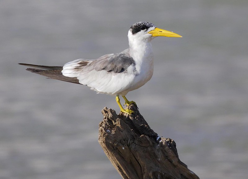 Large-billed Tern_Phaetusa simplex_Cornell Amazon Cruise_Ascanio_DZ3A5184