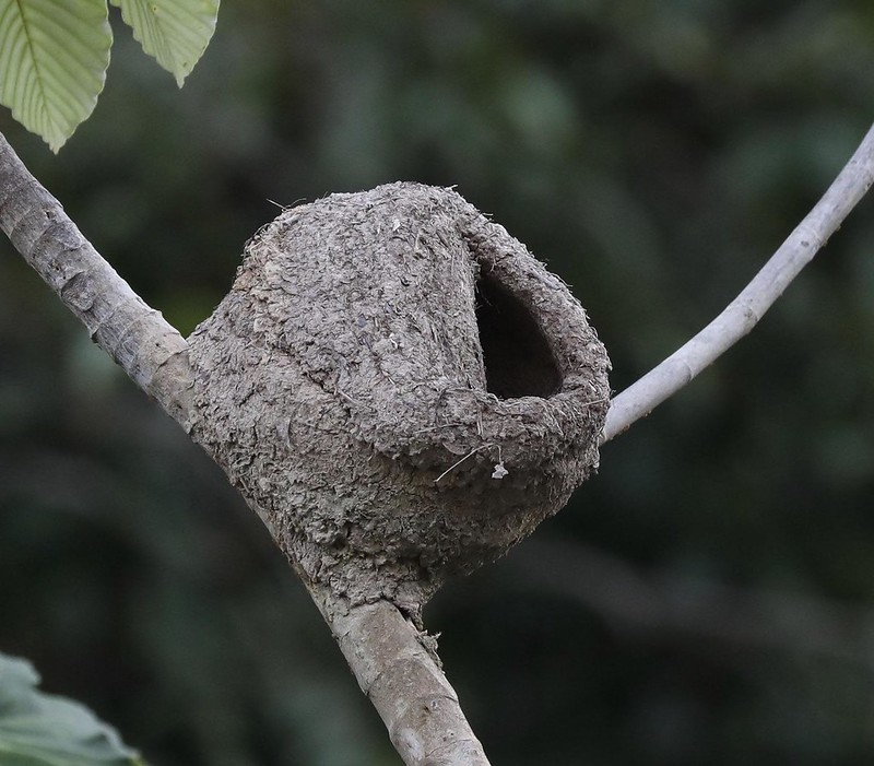 Pale-legged Hornero nest_Furnarius leucopus_Ascanio_Cornell Amazon Cruise_DZ3A6184