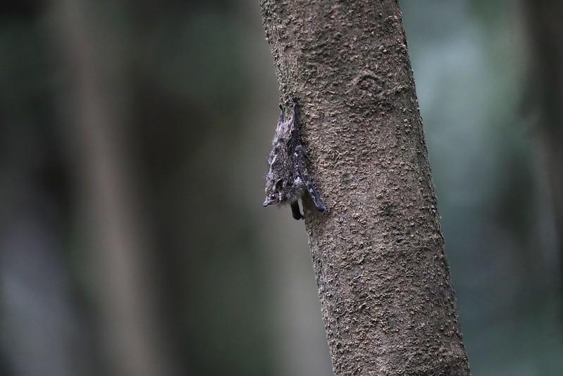 Long-nosed Bat_Rhynchonycteris naso_Ascanio_Cornell Amazon Cruise_DZ3A6121