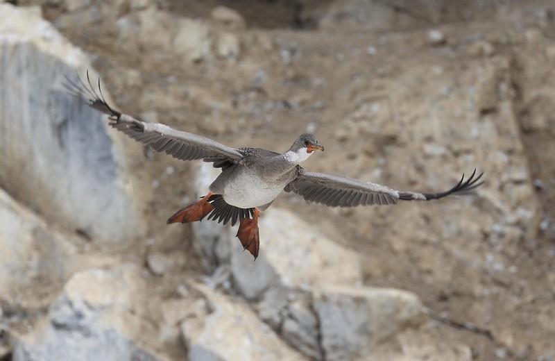 Red-legged Cormorant_Phalacrocorax gaimardi_Ascanio_Cornell Amazon Cruise_Lima Day_DZ3A4920