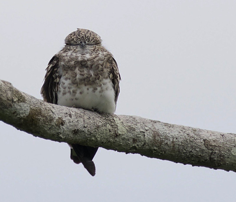 Sand-colored Nighthawk_Chordeiles rupestris_Ascanio_Cornell Amazon Cruise_DZ3A5133