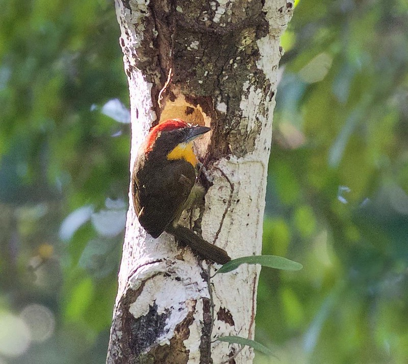 Scarlet-crowned Barbet_Capito aurovirens_Cornell Amazon Cruise_Ascanio_DZ3A5293