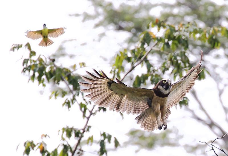 Spectacled Owl_Pulsatrix perspicillata_Ascanio_Amazon Cruise Cornell_DZ3A5735