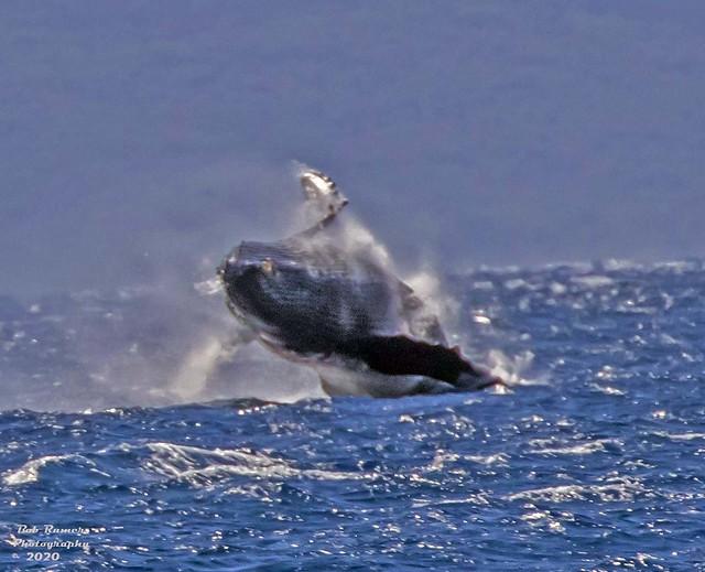 Humpback Whale. Maui. (Explored}