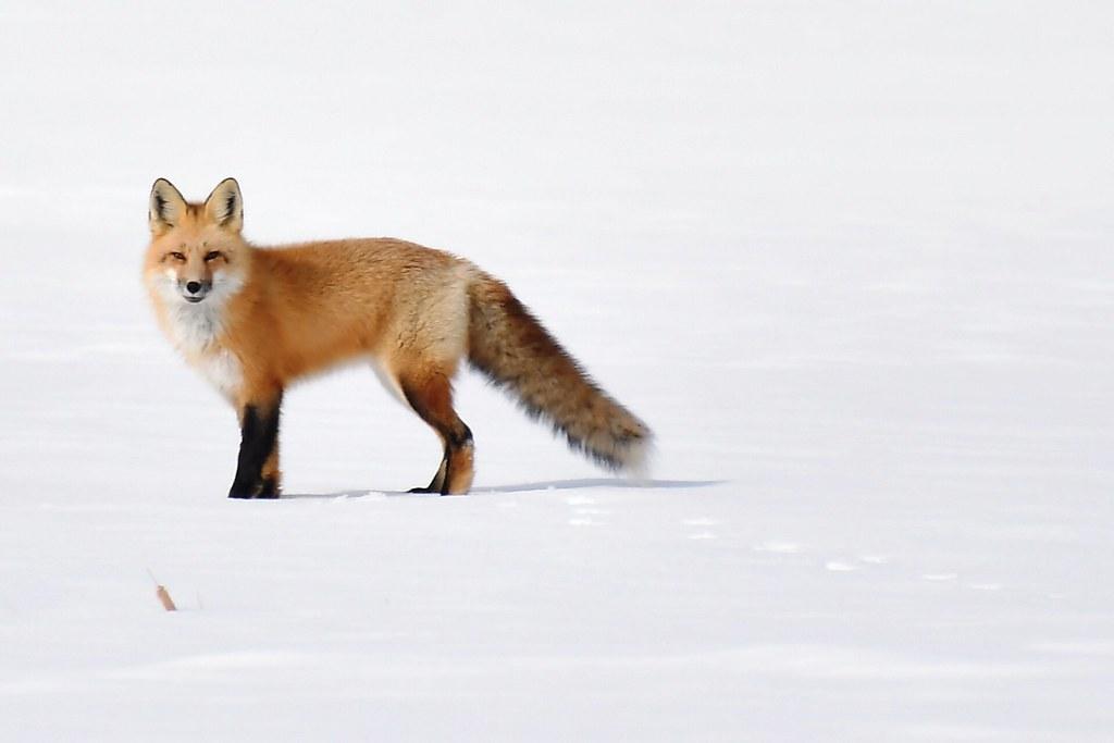 Renard roux--Red Fox (Vulpes vulpes) (IN EXPLORE no-53)