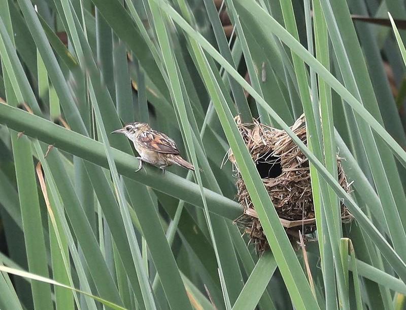 Wren-like Rushbird_Phleocryptes melanops_Amazon Cruise Lima Day_Ascanio_DZ3A4753