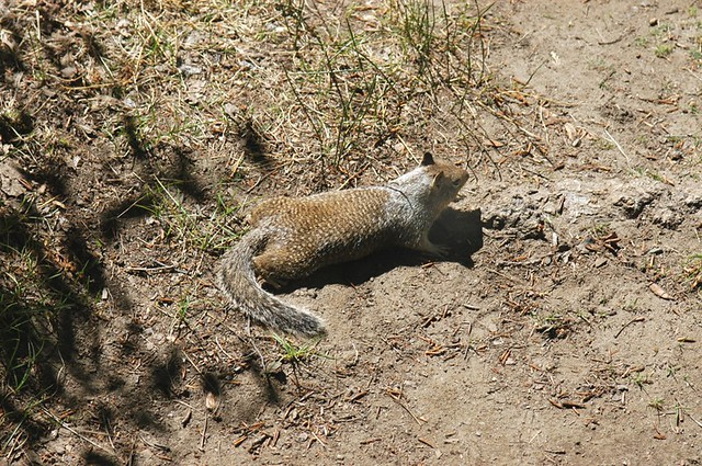 Otospermophilus beecheyi (California Ground Squirrel)