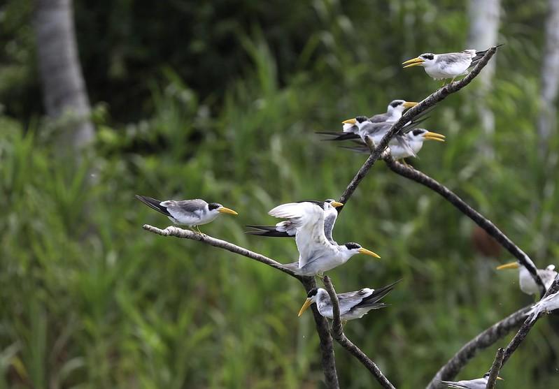 Large-billed Tern_Phaetusa simplex_Ascanio_Cornell Amazon Cruise_DZ3A6451