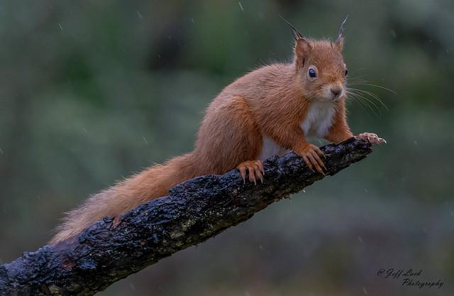DSC6598  Red Squirrel...