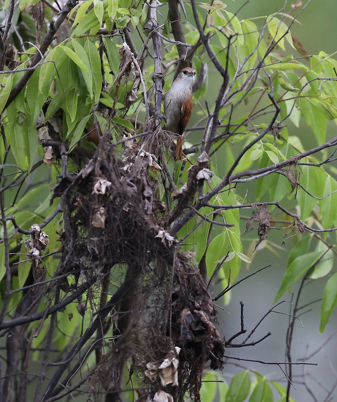 Parker's Spinetail_Cranioleuca vulpecula_Ascanio_Cornell Amazon Cruise_DZ3A6584
