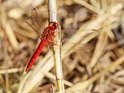 Scarlet Skimmer - Crocothemis servilia 20200303