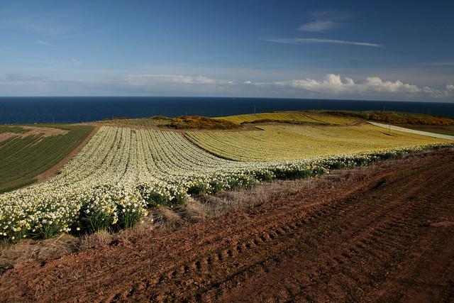 Daffodil fields near Kinneff