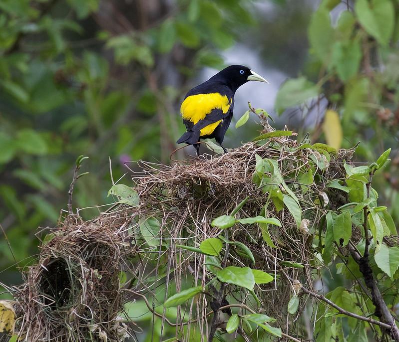 Yellow-rumped Cacique_Cacicus cela_Cornell Amazon Cruise_Ascanio_DZ3A5982