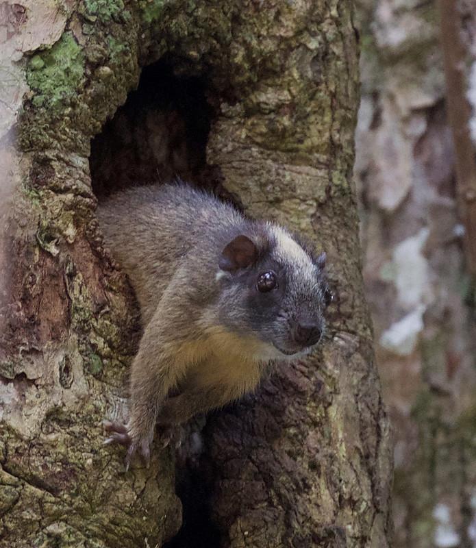 Yellow-crowned bush-tailed tree rat_Isothrix bistriata_Cornell Amazon Cruise_Ascanio_DZ3A5905