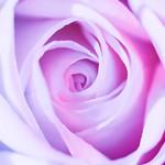 Colored white rose