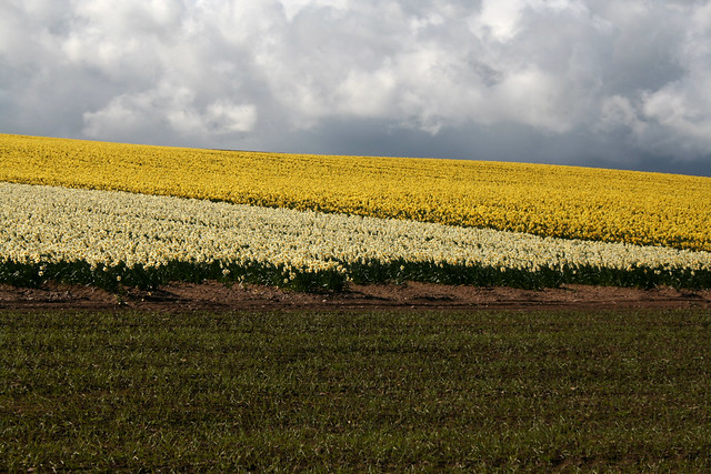 Daffodil fields near Crawton