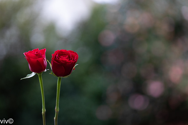 Striking twin red Roses