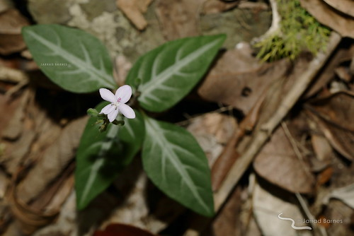 Pastel flower (Pseuderanthemum variabile)