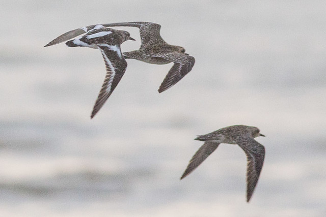 Pacific Golden Plovers and Ruddy Turnstone in flight