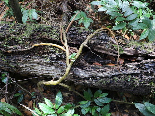 Rainforest Spinach (Elatostema reticulatum)