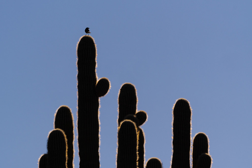 A northern mockingbird is backlit by the sun as it perches atop an old saguaro on the Chuckwagon Trail in McDowell Sonoran Preserve in Scottsdale, Arizona in February 2020