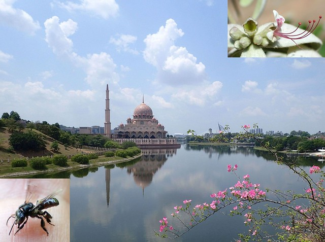 There's so much... . The Pink Mosque, Heterotrigona itama, Malaysian Stingless Bee, and Shower Orchid, Congea tomentosa, Taman Botani, Putrajaya, Malaysia